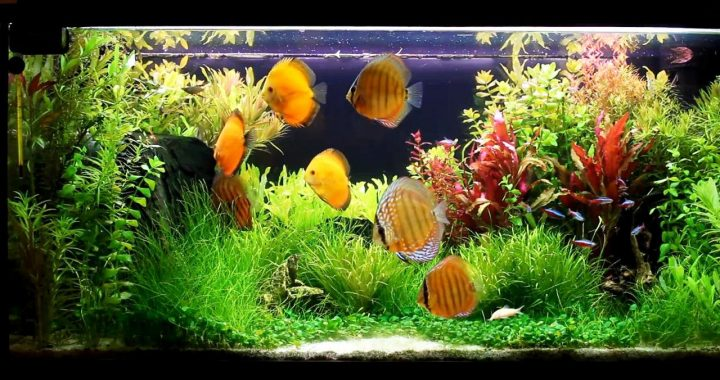 Discus Fish in Your Aquarium